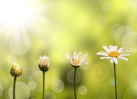 34044407 - daisies on green nature background, stages of growth